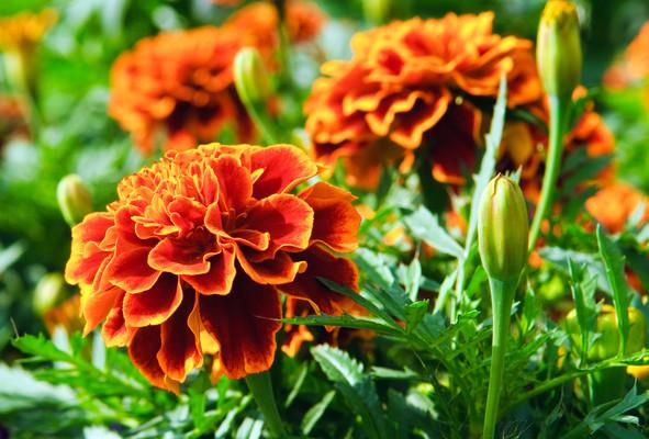 マリーゴールドは鮮やかな色と丸い形の「聖母マリアの黄金の花」。色別のマリーゴールドの花言葉と、マリーゴールドの種類についてご紹介。