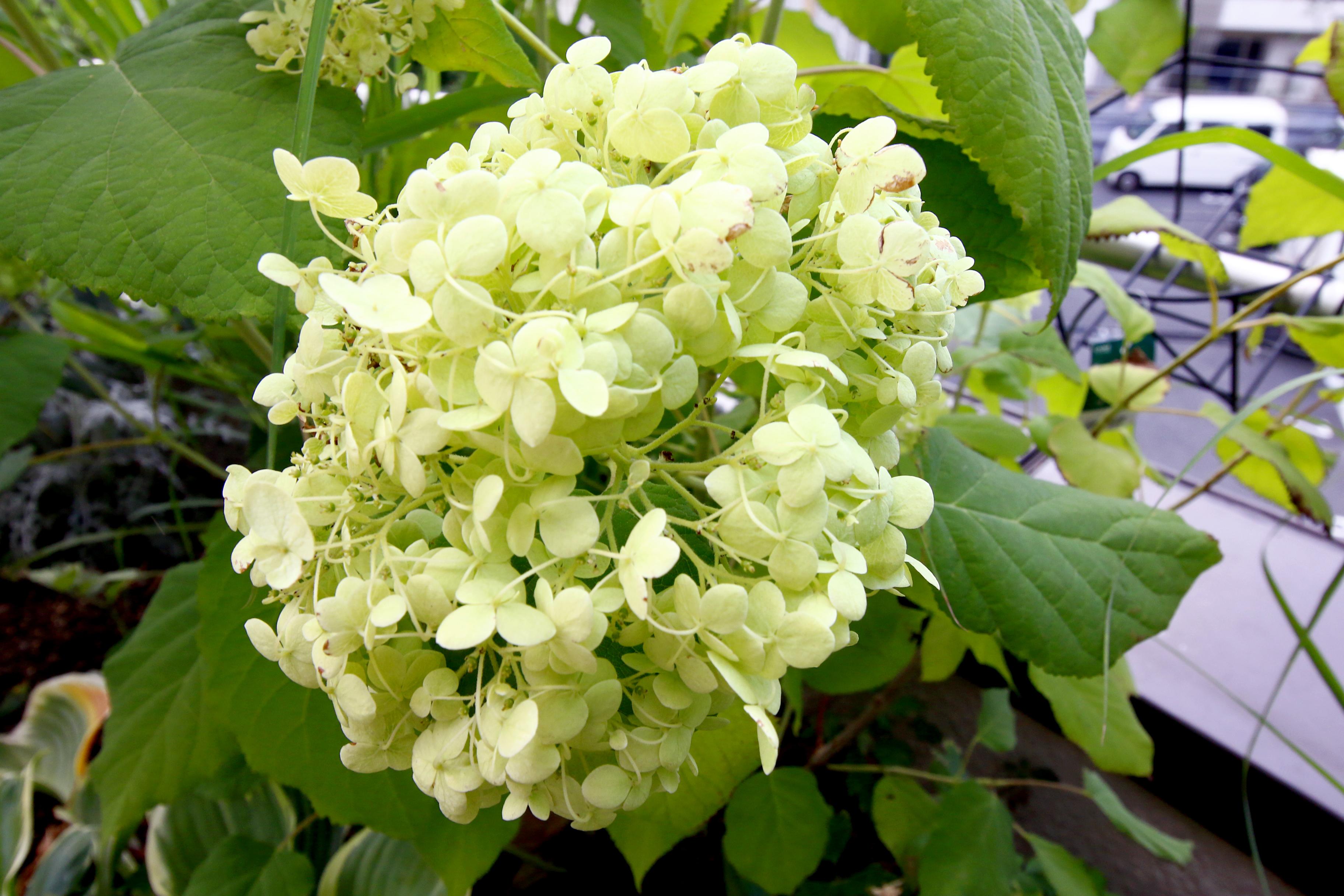 梅雨といえばこれ!というほど有名で人気なアジサイ。意外だと思う方も多いのでは?アジサイには耐陰性があり、初心者でもとっても育てやすい植物です。