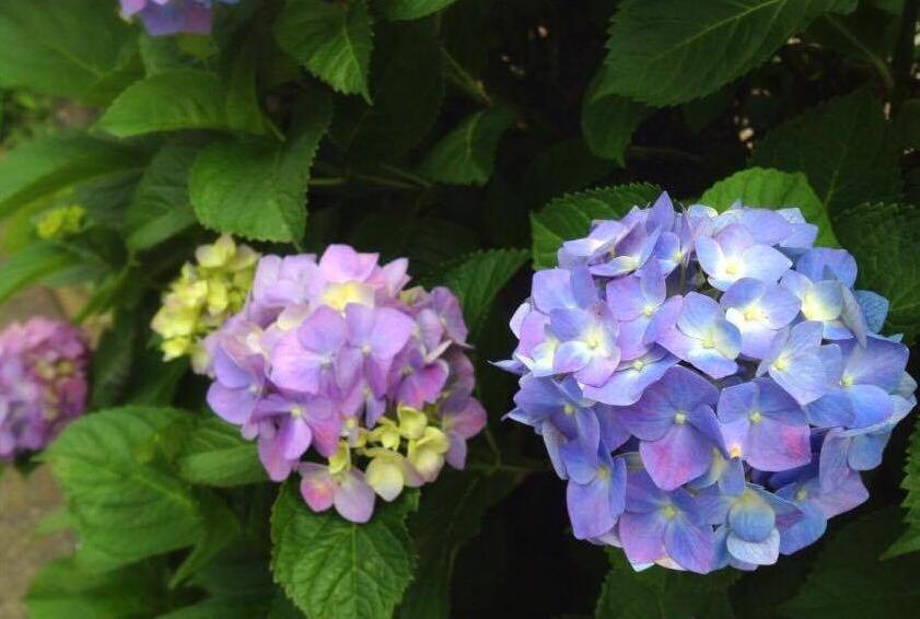 紫陽花は花と新芽を食害されます。アサガオは花びらやつぼみ等、柔らかい花びらを持つ植物は花を食害されます。