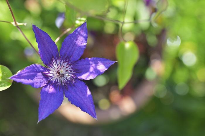 品種改良も進み最近は八重咲きも人気なクレマチスは気品が漂う花。つる性なのでつる性の植物と組み合わせることで一層華やかさを増します。特に深い紫やピンクなど女性に好まれる色も多いのが嬉しいですね。最近、人気の八重咲きはボリュームがあります。  クレマチスは鉢でも管理が可能なのでつる性の性質を利用してベランダの手すりや柱に這わせることが可能です。アジサイと同じく、鉢の管理では水切れには要注意。あんどん仕立てにするとつるの管理がしやすくなります。