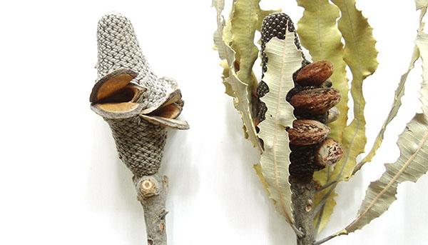 バンクシアの花序は木質の殻に包まれていますが、熱で弾けます。  乾燥した地域で生息していることもあり、山火事の熱を利用して種を飛ばしているのです。右が弾ける前で左が弾けた後。口がパクっ!と開いて、どちらもまるで妖怪のような見た目はじーっと見入ってしまいます。