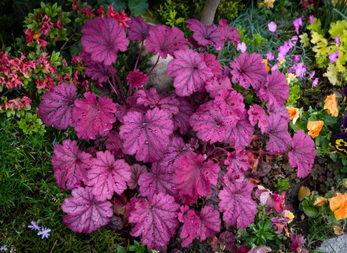 カラーリーフといったらこれ、といっても良いほど種類の多いヒューケラ。葉の色には赤や黄色、緑、オレンジ、黄緑、紫、ピンクなどがあり、色の濃さや明るさも一種類ではありません。