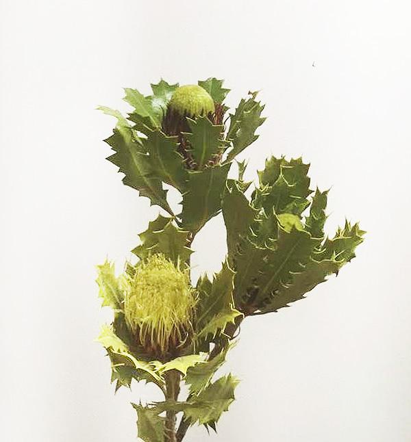 ドライアンドラは最初に紹介したバンクシアの仲間。  オーストラリア原産のヤマモガシ科の植物。ギザギザの葉が特徴的なワイルドフラワーです。ドライになっても、ふわっとした花と、ギザギザの葉っぱは健在。色のコントラストも美しいですね。