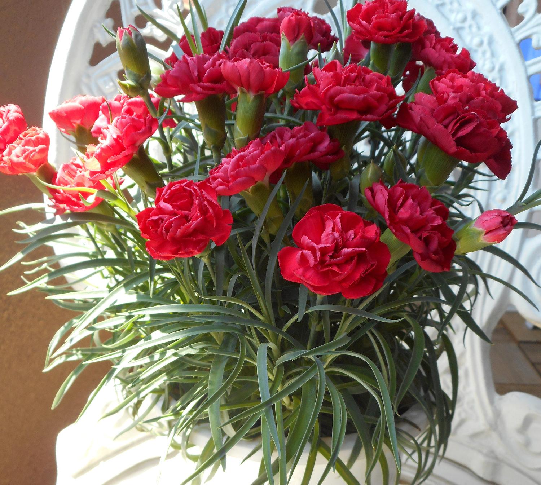 やはりこの花は贈りたい! と多い定番の鉢植えカーネーション。母の日あたりで流通しているカーネーションは、ほとんどがスプレー咲きのミニカーネーション。  ミニカーネーションは日当たり良いところで管理をしてください。風通しも良いところに置きましょう。加湿は嫌います。水は土の表面が乾いたらあげること! メリハリが大切です。肥料も液肥などを与えると長く花の期間を楽しめます。