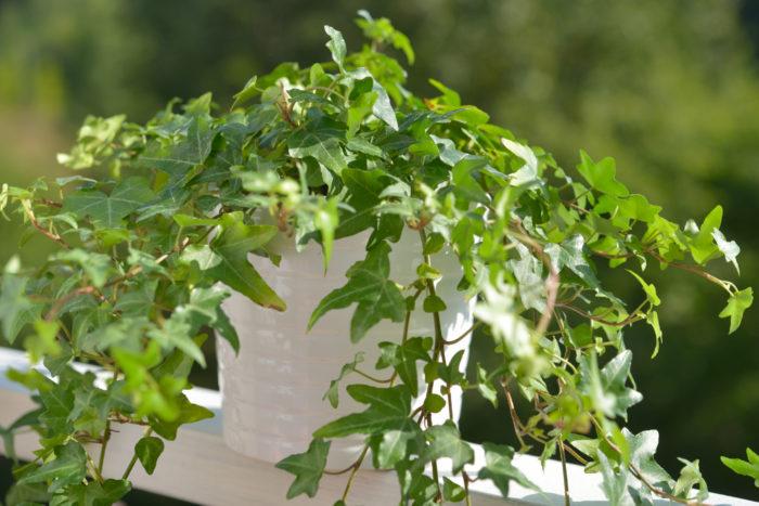 室内でも屋外でも様々なところで目にすることが多く、日陰でも育つ植物の王道、アイビー。斑入りの品種はどうしても日の光を集めるパワーが弱いので、日陰で育てるなら斑入りでない種類がおすすめです。
