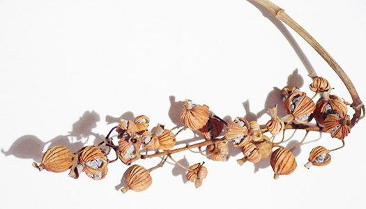月桃はショウガ科ハナミョウガ属の多年草。  日本では沖縄や九州地方で見ることができたり、お店では観葉植物として取り扱われていたりもします。初夏に花序を出し白い花を咲かせ、秋に赤い実をつけます。花が終わり、実のドライがこちら。月桃は切り花としても花屋さんで見かけることも。乾燥して割れ割れた実から種が見えてます。