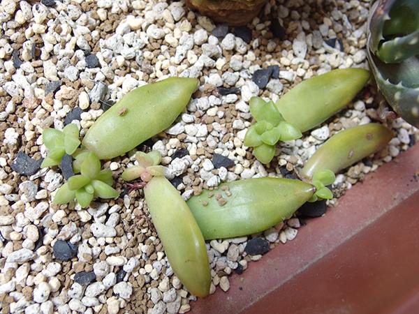 まだ小さいので乾燥で枯れてしまうこともあります。ある程度大きくなるまではこまめに様子をみてお水をあげてもよいでしょう。ある程度の大きさになったら好きな鉢や器に植えて楽しむのもおすすめです。大きくなるにはまだまだ時間はかかりますが、生長過程も楽しみましょう。