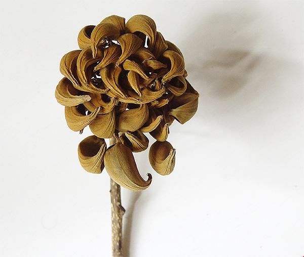 カエンボクは西アフリカ原産のノウゼンカズラ科の常緑高木。  ジャカランダ、ホウオウボクとあわせて世界三大花木と称されております。カエンボクは漢字では「火焔木」。緑の中に真っ赤に燃え上がるような姿にぴったりな名前です。春~夏に赤い花が咲き、上向きに咲く花の姿がチューリップに似ていることもあり、別名「チューリップツリー」とも呼ばれてます。花が落ち、ドライになった姿。これはこれでお花のよう。