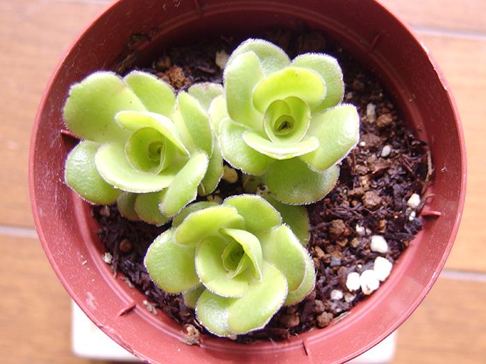クラッスラ 3~4㎝の小型から数m近くにもなる大型種まであり、形も様々で種類はとにかく豊富です。オルビキュラリス、キムナッキー、巴、玉椿などが冬型種になります。
