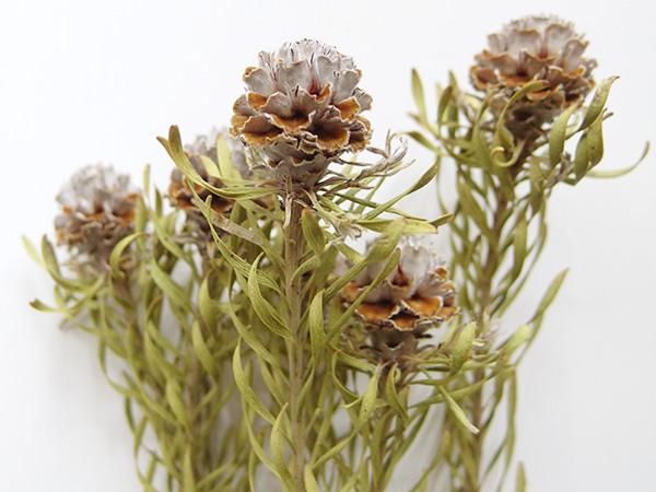 リューカデンドロン・ジェイドパールはヤマモガシ科リューカデンドロン属の植物。  科目のリューカデンドロンは南アフリカ原産で、種類が豊富です。ジェイドパールは丸くて白銀のような花が魅力のひとつ。ドライになることで開き、葉もうねってボリュームと面白さがプラスされますね。