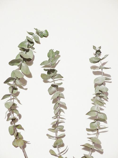 ユーカリはオーストラリア原産のフトモモ科ユーカリ属の常緑高木。切り花やアロマオイルでは清々しい香りでご存じの方もいらっしゃると思います。  葉はよく見かけることもあると思いますが、お花ってどんな花なんだろうと思いませんか?面白いお花が咲きます。ユーカリも品種が多く、その品種ごとに色や形が異なるので、いろいろなユーカリの花、見てみたくりますね。ドライは葉っぱです。切り花を吊るしている間もいい香りを楽しむことができます。ぜひチャレンジしてみては。