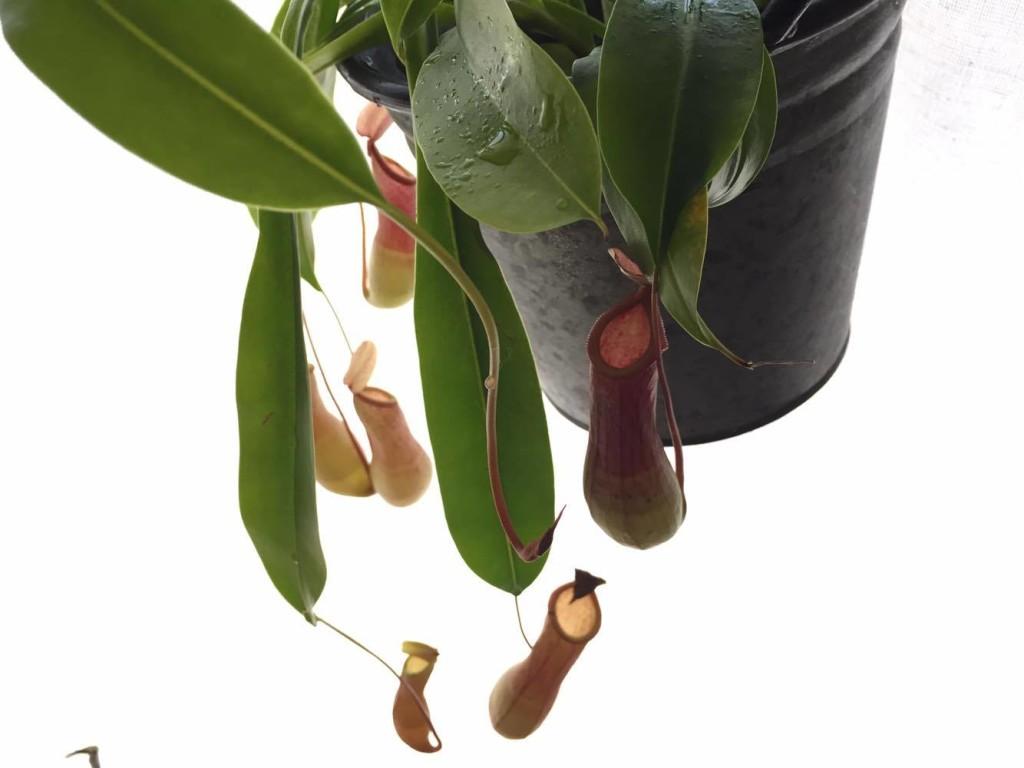 ウツボカズラ(ネペンテス)は、代表的なつる性の食虫植物で、現在のところ約70種が発見されています。特徴的なツボ型の部分は捕虫器といい、葉が変形したもので、葉の先端がつるの先の膨らみとなります。中に入っている液体のほとんどは水分ですが、消化液が含まれているため、中に落ちた虫等は徐々に消化されます。根は貧弱あまり発達し寒さには弱く、育て方も比較的難易度が高い植物です。