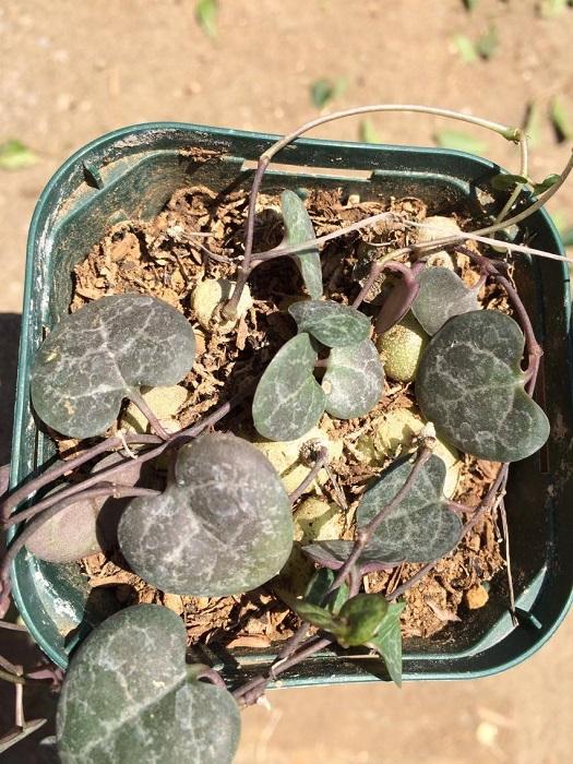 ハートカズラの植え替えの時期は冬以外、最も適しているのは春です。