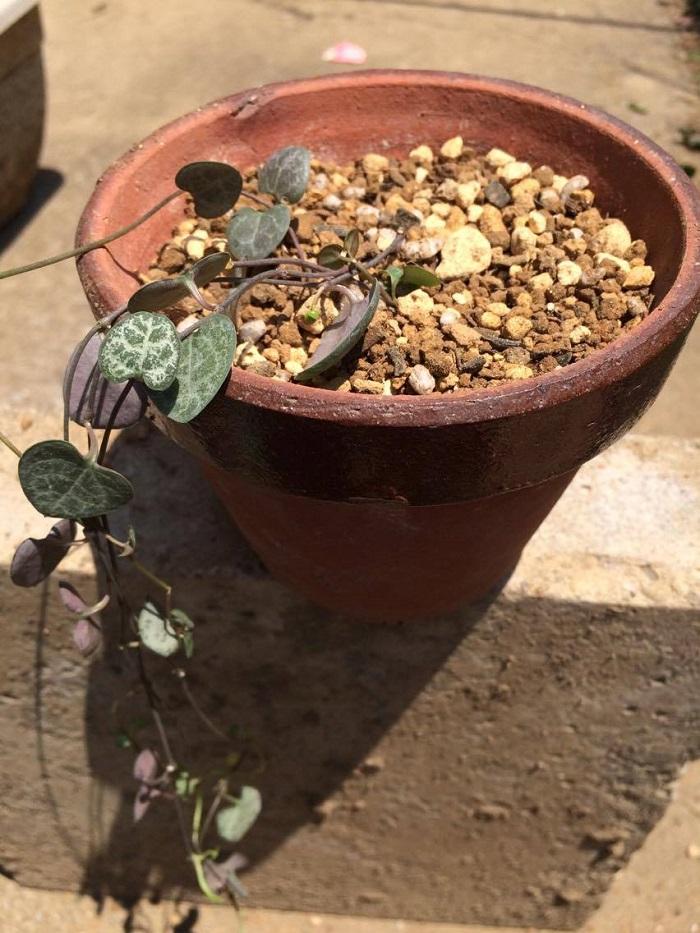 上から土を入れて完了です。  株分けしたもう一つの、ハートカズラも同じように植えをしましょう。