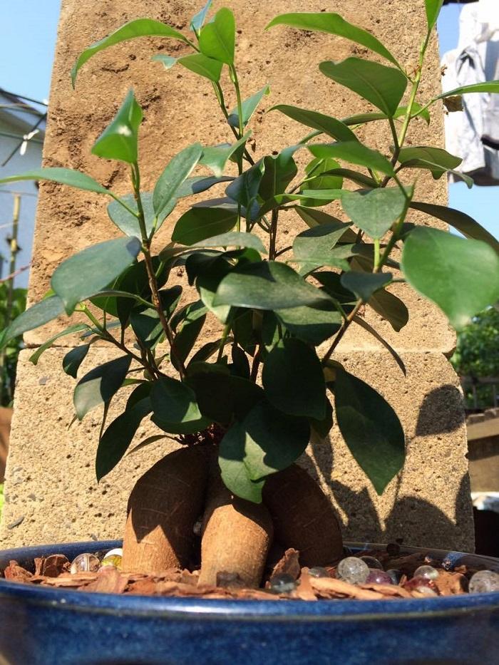ガジュマルの剪定の時期としては植え替え時期と同じ5月~7月が最適です。植え替え時期ではなくても、夏の生長時期に合わせて、4月~6月の間に剪定しましょう。剪定をしないと、葉に日光がいかなくなったり、お水や栄養が樹や葉に行き届かなくなったりします。5月頃、切り戻しをすることでバランスよく、ガジュマルらしい姿に生長します。