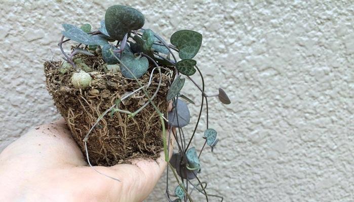 鉢から取り出してみて、このように根が張っていれば株分け時です。