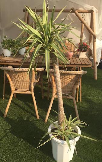 北アメリカから中央アメリカが原産のリュウゼツラン科の観葉植物です。乾燥に強いのでお水は控えめに上げましょう。与えすぎると根腐れを起こして枯れる原因に。目安としては鉢土の表面が乾いてからあげましょう。
