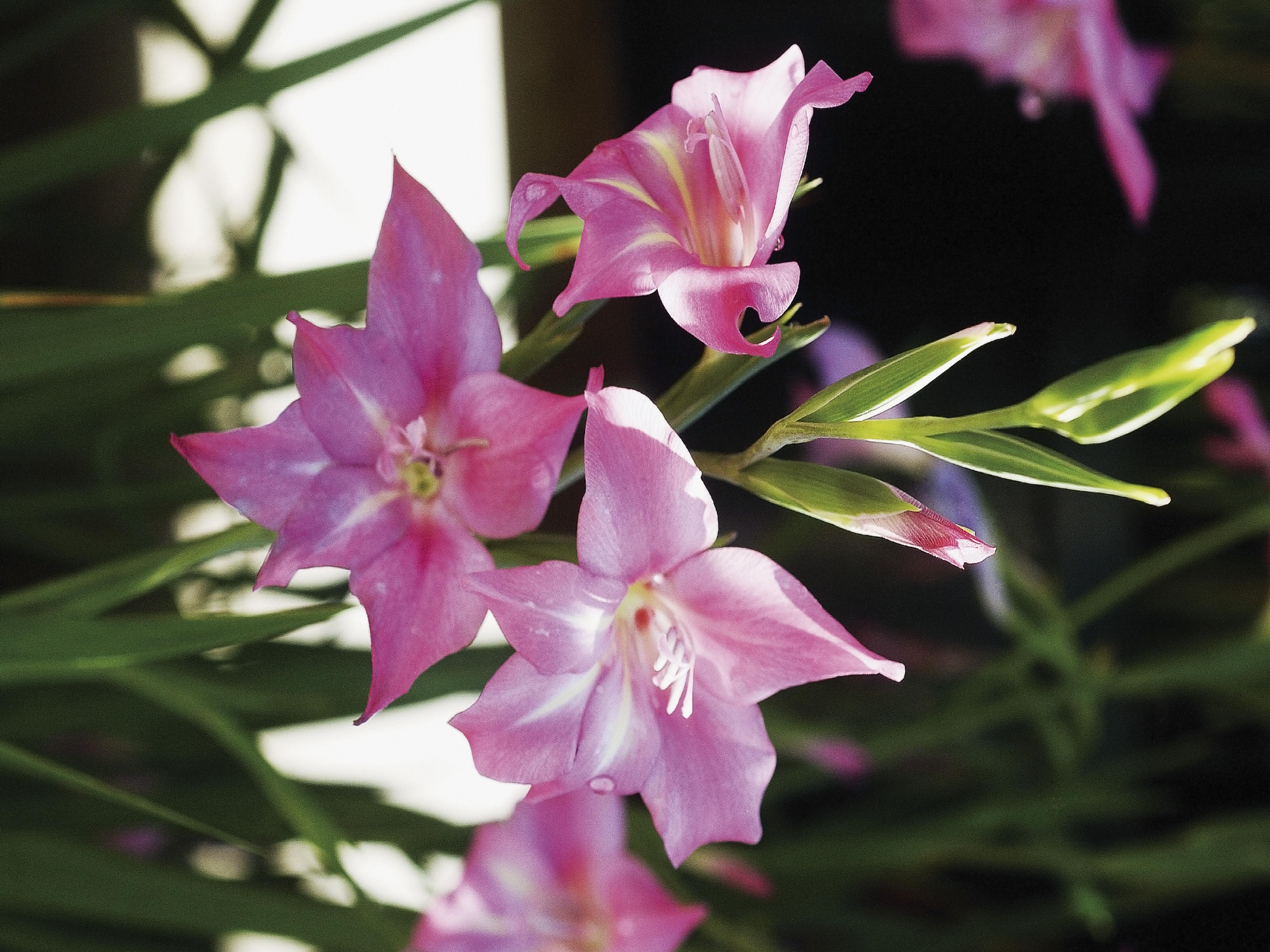 グラジオラスの花言葉|種類、特徴、色別の花言葉 | LOVEGREEN(ラブ ...