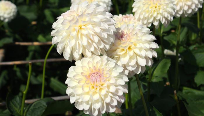 7月の誕生花一覧誕生日の花と誕生月の花花言葉 Lovegreenラブ