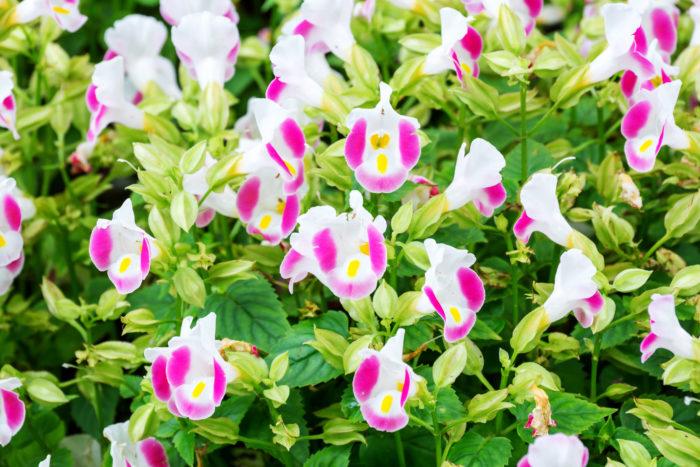 アゼナ科の一年草または多年草で、花壇、鉢植え、寄せ植えなどに使われます。花色は青、紫、白、ピンク、黄色などがあります。暑さと病害虫に強く、1株でもボリュームがあります。