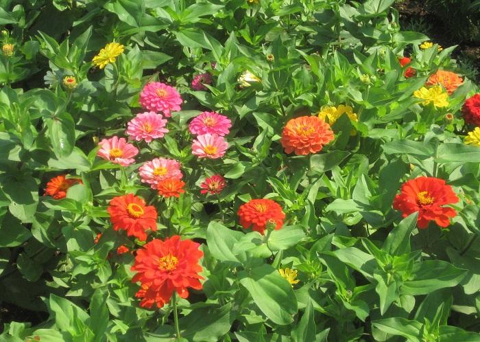 キク科の一年草で、花壇や鉢植え、寄せ植えに使われます。花色は赤、黄色、ピンク、白などがあります。暑い夏から秋まで長い期間花を咲かせるので百日草とも呼ばれます。