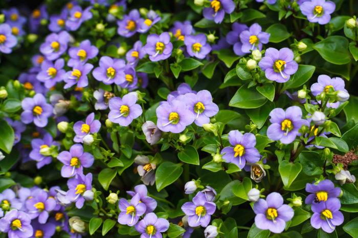 リンドウ科の一年草で、主に鉢植えに使われています。花色は青や白などがあります。黄色のやくとのコントラストが綺麗です。