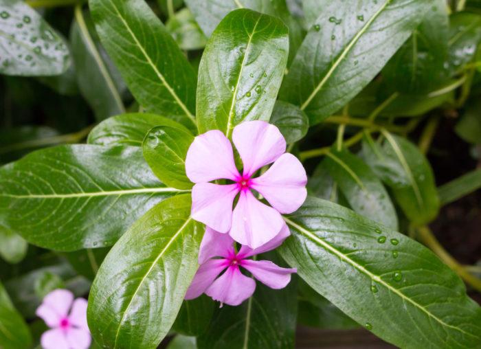 キョウチクトウ科の一年草で、庭植えや鉢植えなどに使われます。花色は白、赤、ピンクなどがあります。昔は薬草とされていましたが、根を中心に毒性があります。