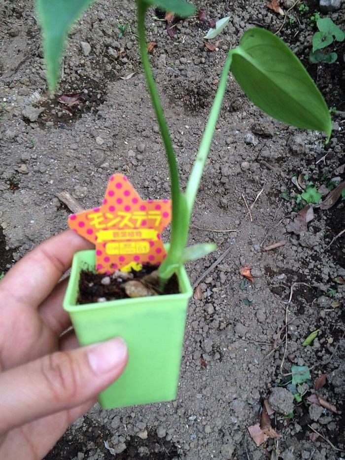 モンステラは観葉植物の中でも人気のある植物です。モンステラは木や岩などに気根を垂らして自生している半つる性植物です。自然下やそれに近い栽培環境だと葉の大きさは1m以上になります。  100均で売られているモンステラは幼株のものが多く、しっかり管理することで立派な株になります。モンステラも様々な種類がありますが、大きくなり葉の切れ込みなどを見ないと判別するのが難しいです。  根詰まりを起こしている場合があるので、買った後は一度苗を抜き、植え替えをすることをおすすめします。