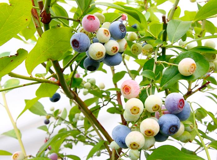 ピートモスと最も相性の良い植物はブルーベリーだと言われています。ブルーベリーは強酸性を好むので、ピートモスを使った酸性の土とは相性がとても良いです。  ブルーベリーの品種にもよりますが、ブルーベリーに適した酸度はpH4.3~5.3程度といわれています。強酸性といわれる無調整のピートモスでも使用できます。あとは、排水性・通気性を考慮に入れ、鹿沼土・日向土・パーライトなどをブレンドすると良いでしょう。