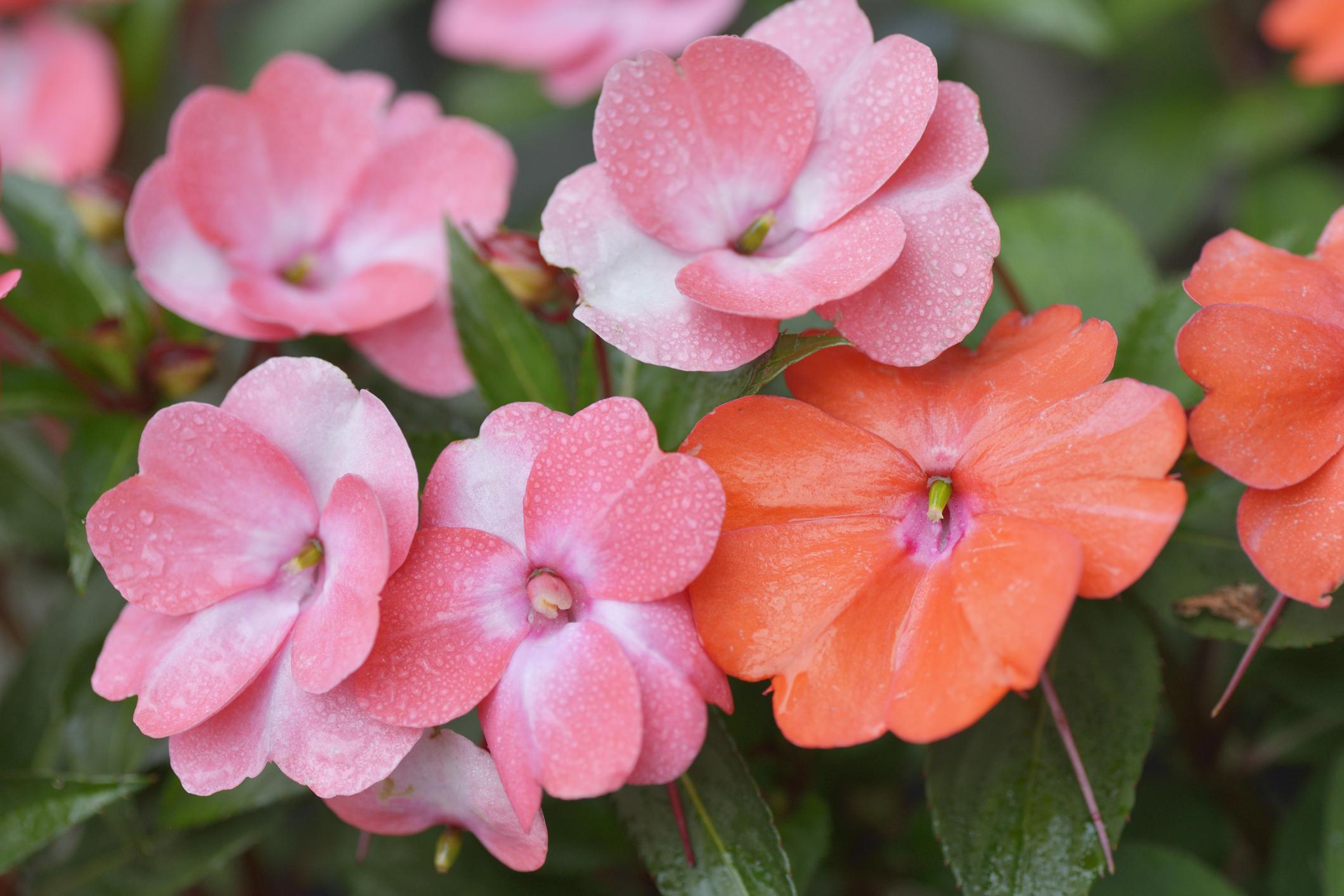 ツリフネソウ科の一年草で、鉢植えや花壇などに向いています。花色は紫、ピンク、白、サーモンピンクなどがあります。斑入りや模様の入った品種が多くあります。