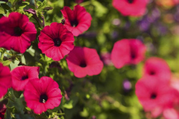 ナス科の多年草で、鉢植えや花壇、寄せ植えなどに使われます。花色は赤、ピンク、白、青、紫などがあります。花が雨に弱いので、濡れないように注意しましょう。