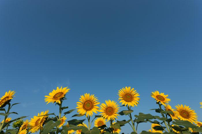 夏の花と言えばひまわり。キク科の一年草で、鉢植えや花壇、庭植えに向いています。花色は黄色が主で、オレンジ、白、茶色などもあります。矮性種だと小さめの鉢でも十分に育てることができます。