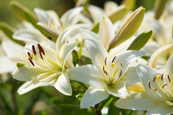 百合(ユリ)の花言葉|種類、特徴...