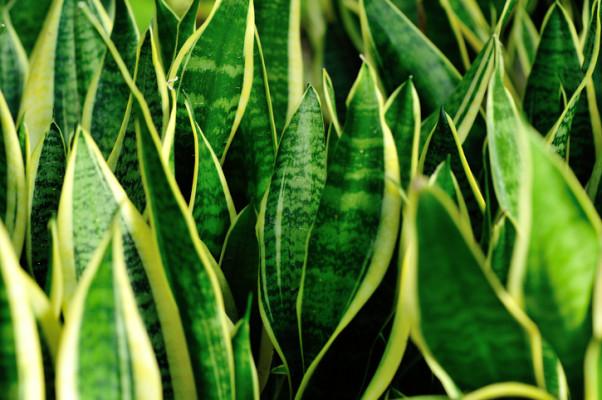 サンスベリアの「虎の尾」といわれる模様の種類は、魔除けや厄除けなるといわれ、玄関や窓辺に飾るのがおすすめ。サンスベリアは日光を好みますが、ある程度の耐陰性もありますので、光の入るお部屋なら環境に適応してくれます。乾燥に強いですが、夏場など土が乾きやすい季節は、乾いたらたっぷりと水やりをしましょう!