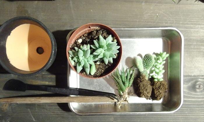 お好みの植物を選びましょう。今回はちょっとアクセントにミニサボテンを入れてみます。  色合いも濃い色や赤っぽいものなどいろいろあるとポイントになりそうですね。育てていて徒長してしまった苗をカットして使うのもよいです。  カット苗だけでもホームセンターや園芸店で取り扱いがあるところもあります。また、100均にも小さい苗があることもあります。