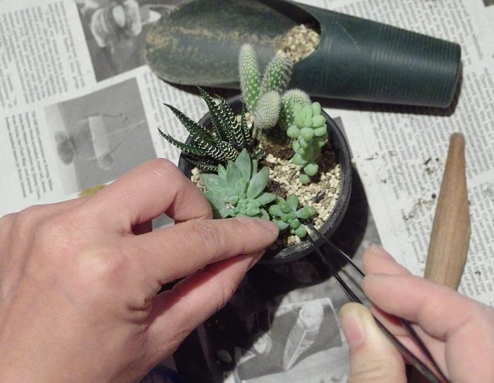 ここから、細かい多肉植物を植えていきます。  小さい多肉植物をメインの隙間に入れていきます。