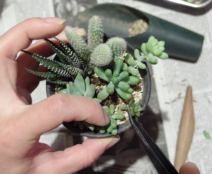 多肉植物の寄せ植えの作り方