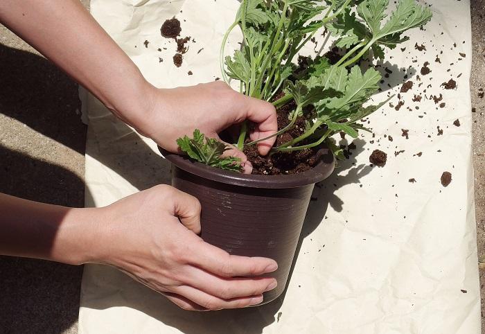 鉢に鉢底ネットを張って、鉢底石を入れ、ポットから苗を抜きます。このとき優しく抜き取ります。土が硬くなっていて取り出しにくい時は、鉢を硬いところに軽くトントンと打ち付けると外れやすいです。