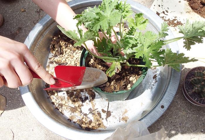 苗を植えつけます。苗の隙間を土で埋めていきます。植える時は上まで土を入れずに、鉢上1cmくらいのスペースを作りましょう。
