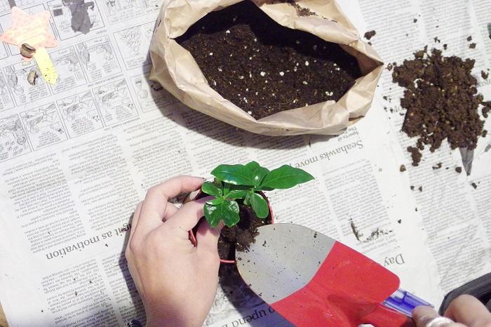 100均観葉植物のコーヒーの木の植え付け
