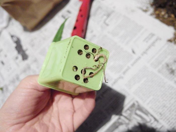 ポットからパキラを抜いて根鉢を軽く崩します。鉢底から根が出ている場合は切ってしまっても構いません。