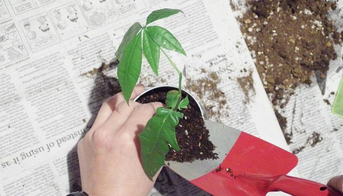 植える時は上まで土を入れずに、鉢上1~2cmくらいのスペースを作りましょう。これはウォータースペースと呼ばれるもので、水やりをしたときに土が流れ出ないようにするためのものです。
