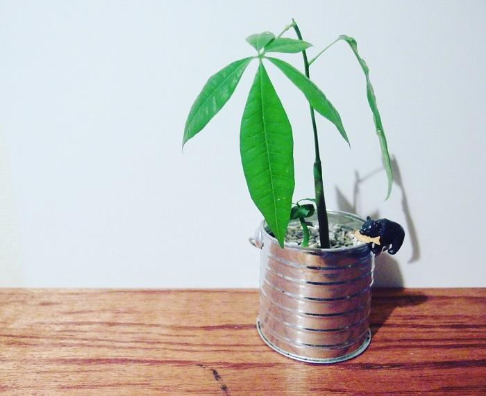 インテリア性を重視する場合は苗と鉢のバランスを気を付けるようにしましょう。植え替える前にパキラの苗と鉢を重ねてみても良いです。