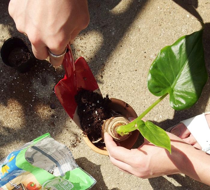 100均観葉植物のクワズイモの植え付け