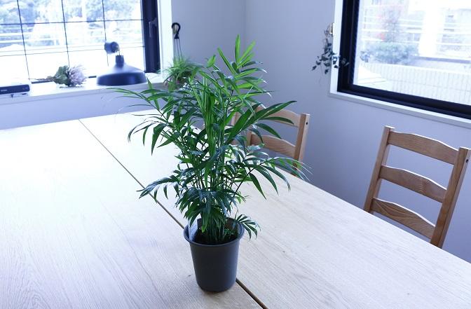 テーブルヤシは、ヤシ科・カマエドレア属(テーブルヤシ属)の植物。一般的にテーブルにおけるほどちいさいことからテーブルヤシと名づけられました。  夏場は南国のヤシの雰囲気を出してくれます。ヤシという名前がついているので日光に強いと思われがちですが、直射日光や強い日差しは苦手です。水はけがよい状態にし、日陰でも育ちます。100均でも購入できます。  水やりは夏の生育期には用土の表面が乾いたらたっぷりと水を与えます。水がないと葉が枯れ落ちてしまいます。しかし常に水浸しだと根腐れしてしまいます。冬は土の表面が乾燥してから2~3日経ってから水をたっぷり与えます。