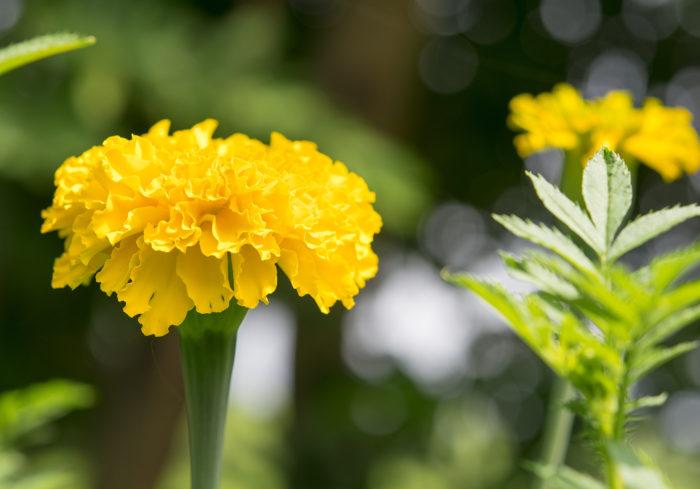キク科の一年草で、暑さに強く夏の花壇や寄せ植えなどに使われます。花色は黄色やオレンジ、赤、茶色などがあります。防虫効果を持つ種もあります。
