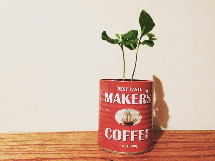 100均の観葉植物コーヒーの木
