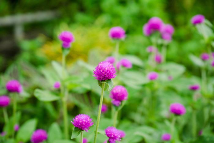 ヒユ科の一年草で、花壇や鉢植えに使われます。花色は濃いピンク、薄いピンクが主で、白やオレンジもあります。花はドライフラワーに向いています。暑さにも強く初夏から秋まで長く開花します。