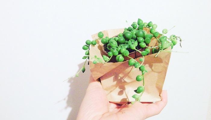 セネキオ グリーンネックレス。緑のぷっくりとした粒状の葉が真珠のネックレスのように連なります。葉がイルカのような形のものや三日月型のものなどがあります。垂れ下がるように成長するのでハンギングにしたり、寄せ植えに使われることもあります。