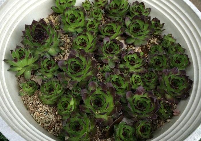 センぺルビウム 上から見た時の葉の形が美しいセンぺルビウムです。葉が硬質なものが多く、糸があるものなどもあります。高山性の多肉植物なので真夏の高温多湿は苦手です。日本にもいくつか自生しているものがあり、寒さにとても強いので夏越しに気を付ければ比較的育てやすい多肉植物でしょう。